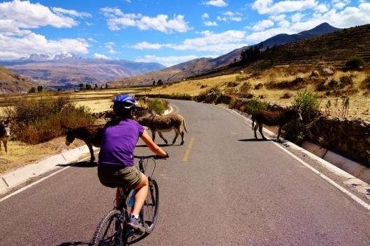 Donkey Crossing in Chivay, Peru