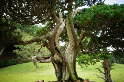 Bonsai Tree in Spirited Garden, Jeju Island, South Korea