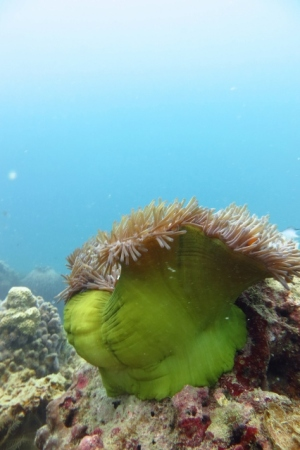 Anemone swaying in the current (Perhentian Islands, Malaysia)