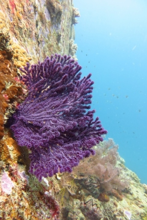 Beautiful soft sea coral (Perhentian Islands, Malaysia)