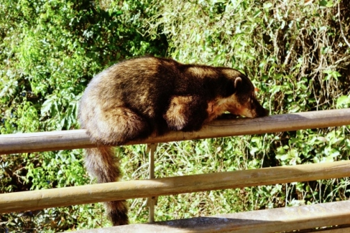 Coati lounging in the sun (Iguazu Falls, Argentina)
