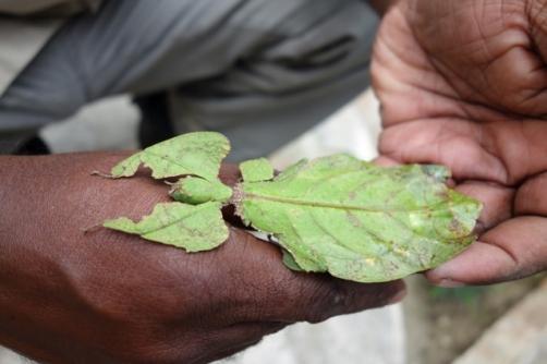 Leaf bug (Cameron Highlands, Malaysia)