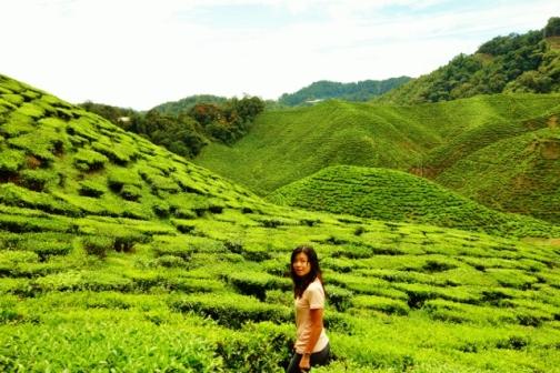 Cameron Valley tea fields (Malaysia)
